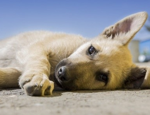 Dog ACL Surgery Cost – Alternative ways to Treat Your Furry Friend
