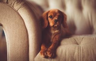 broken paw dog - brown king charles cavalier