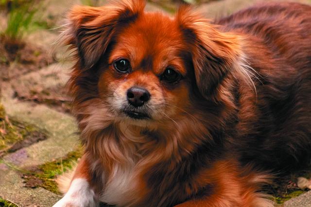 dog limping back leg - brown dog