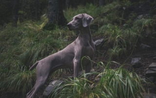 my dog is limping - canine in the woods